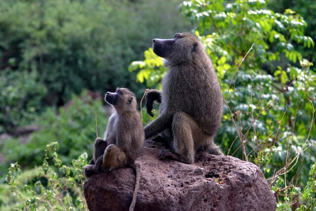 File:Baboons on rock.jpg