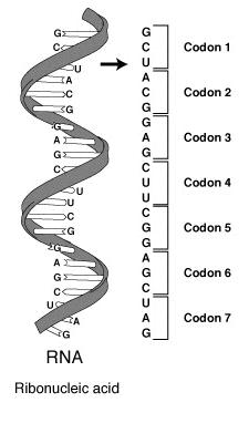 File:RNA-codon.png