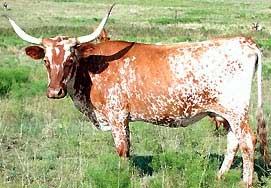 File:TexasLonghorn.jpeg