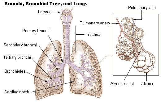File:Illu bronchi lungs.jpg
