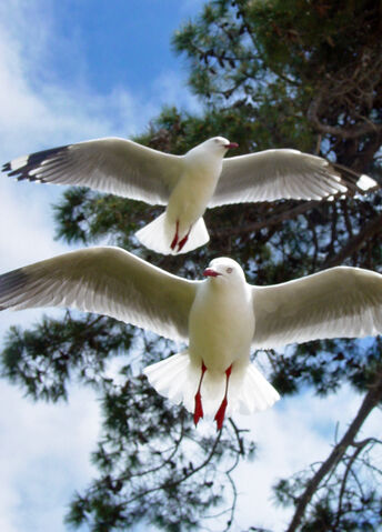 File:Red legged gulls.jpg