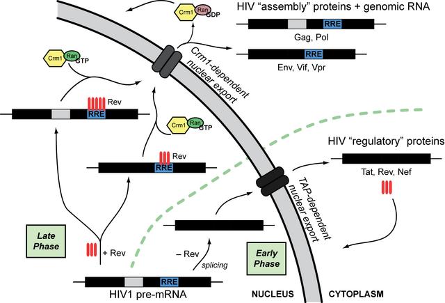 File:Rev-mediated HIV mRNA transport.png