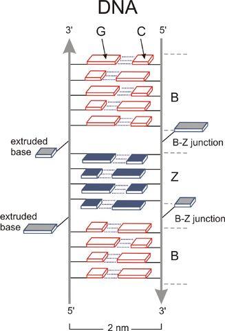 File:B&Z junction DNA.jpg