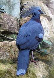 Bristol.zoo.victoria.crowned.pigeon.arp