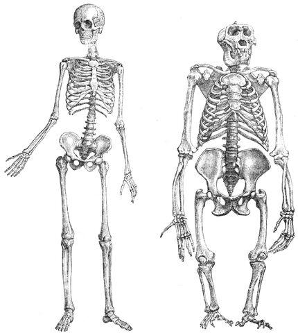 File:Primatenskelett-drawing.jpg