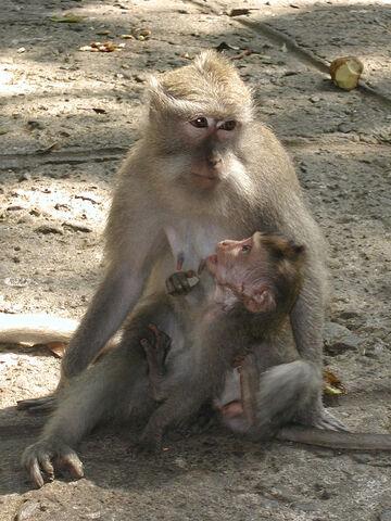 File:MonkeyForestPietá.jpg
