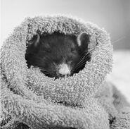 Cutest-Rats-38