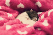 Cutest-Rats-17
