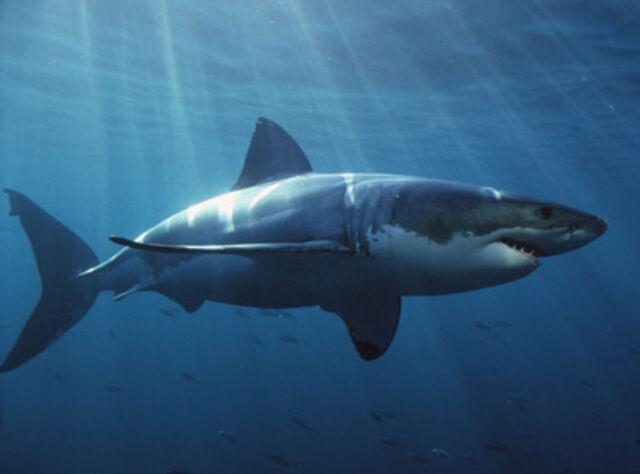 File:Shark2.jpg