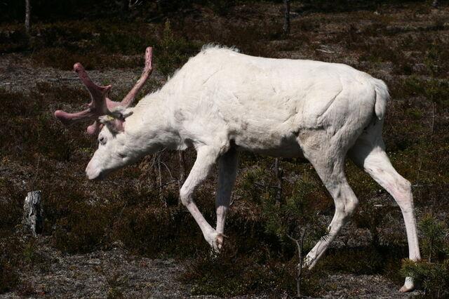 File:Albino Reindeer.jpg