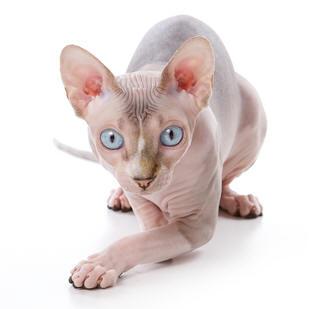 File:Sphynx-cat.jpg