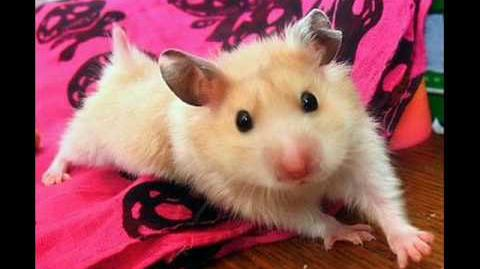 Hampton The Hamster - The Hamster Dance Song