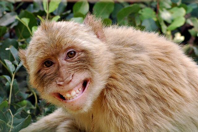 File:Monkey-7.jpg