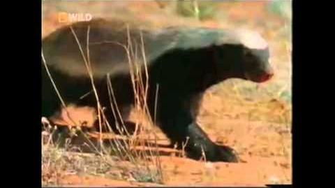 The Crazy Nastyass Honey Badger (original narration by Randall)