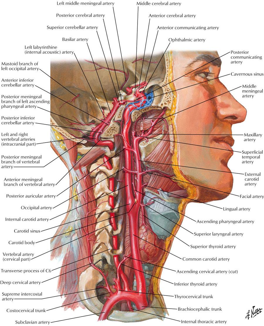carotid sheath:internal carotid artery | ranzcrpart1 wiki | fandom, Human Body