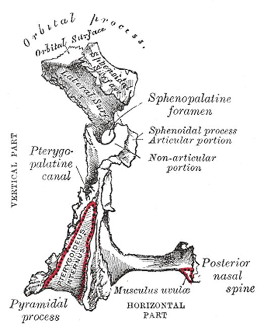 nasal cavity & paranasal sinuses:bones & foramina/canals:palatine, Sphenoid