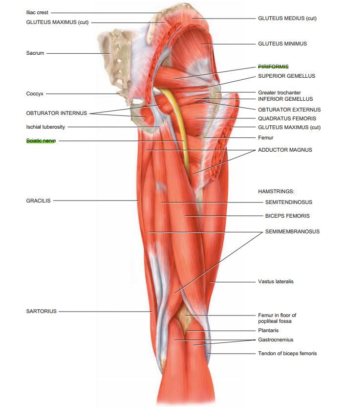 nerves:pelvis:sciatic nerve | ranzcrpart1 wiki | fandom powered by, Human Body
