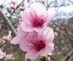 File:Peach.jpg