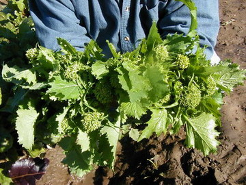 File:BroccoliRaab.jpg