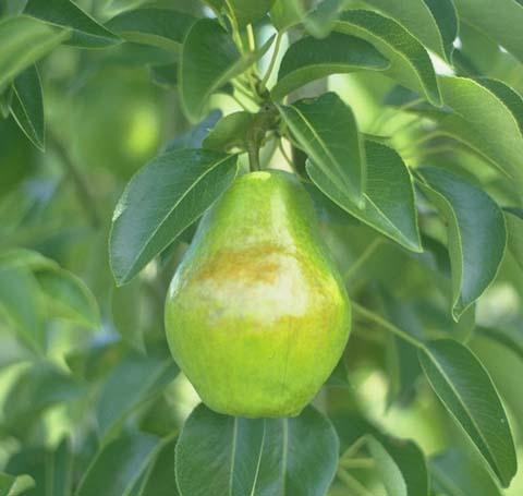 File:Bartlett Pear.jpg