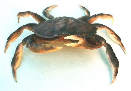 File:Dungeness Crab.jpg