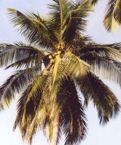 File:Coconuts.jpg