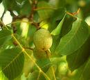 Persian walnut