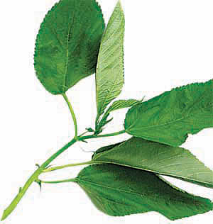 File:Jute leaves.jpg