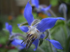 File:Borage.jpg