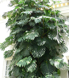 File:Monstera.jpg