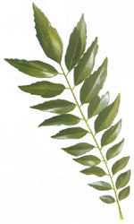 File:CurryLeaf.jpg