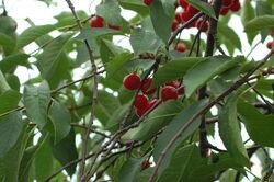 Sour+Cherries-8526