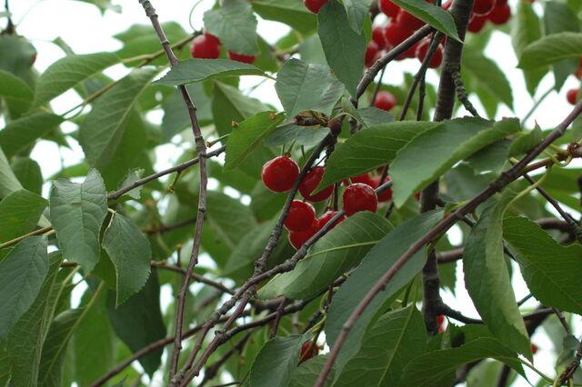 File:Sour+Cherries-8526.jpg