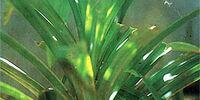 Screw pine leaf