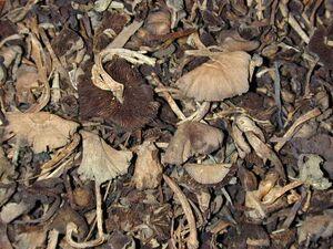 Djon djon mushrooms