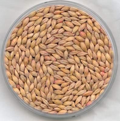 File:Barley.JPG