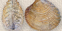 Praire clam