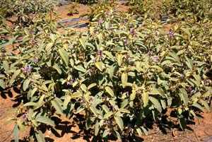 File:BushTomatoes.jpg