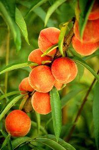 Flameprince peaches