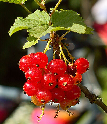 File:Bright red currants in the garden.jpg