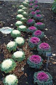 File:Flowering Kale.jpg