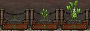 Turmeric Gardening