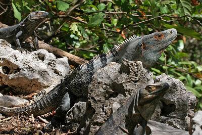 800px-CtenosauraSimilis