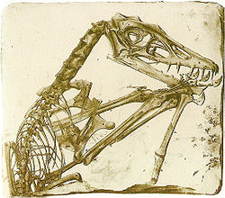 File:250px-Scaphognathus crassirostris.jpg