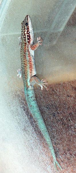 Phelsuma barbouri