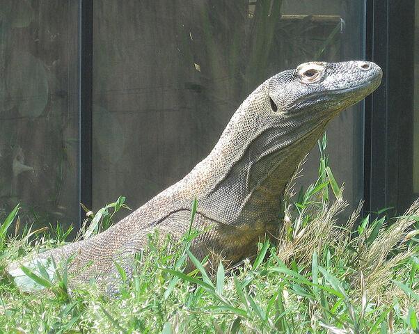 File:Komodo dragon 2.jpg