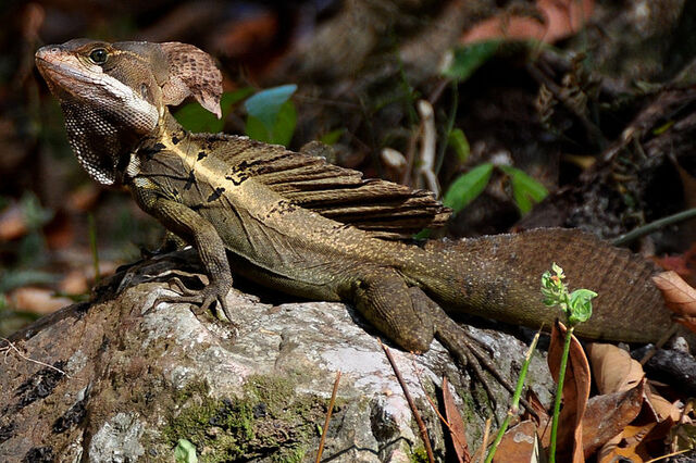 File:Brown basilisk.jpg