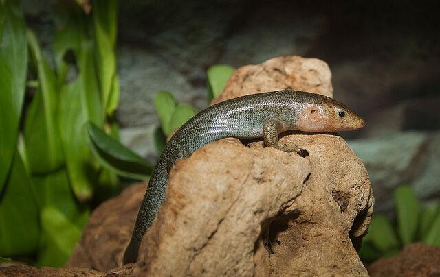 File:Plestiodon longirostris.jpg