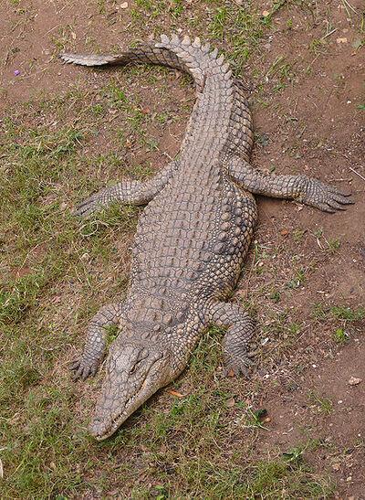 438px-NileCrocodile-SRG001c