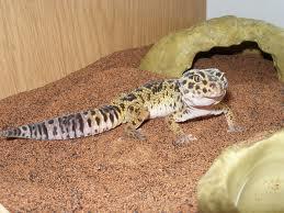 File:Leopard Gecko 3.jpg